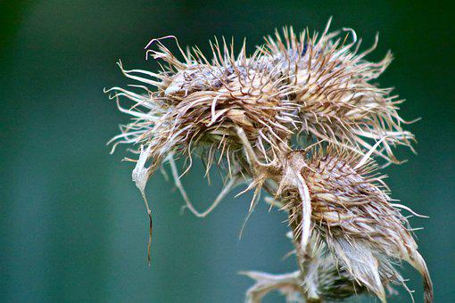 Thistle, Faded, Autumn, Nature, Plant, Close Up