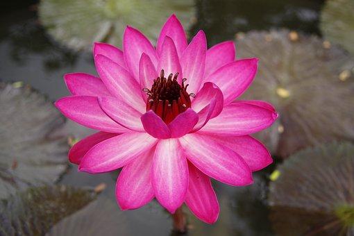 Purple, Water Lily, Pond, Garden, Blossom