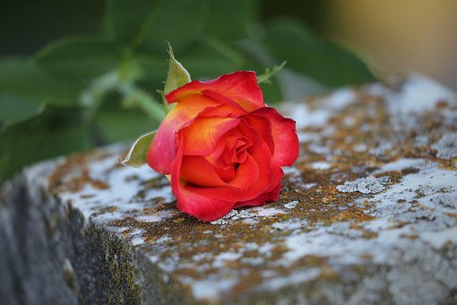 Red Yellow Rose, Love Symbol, Condolence, Old Marble