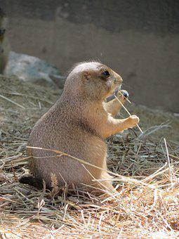Prairie Dog, Zoo, Mammal, Rodent, Animal, Nature, Cute