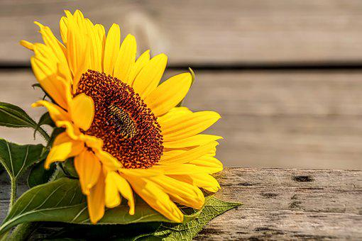 Sunflower, Yellow, Summer, Flower, Blossom, Bloom
