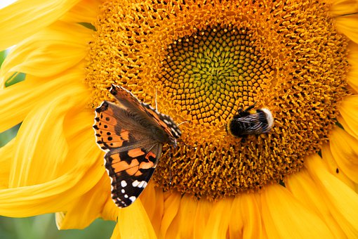 Sunflower, Summer, Butterfly, Yellow, Flower, Nature