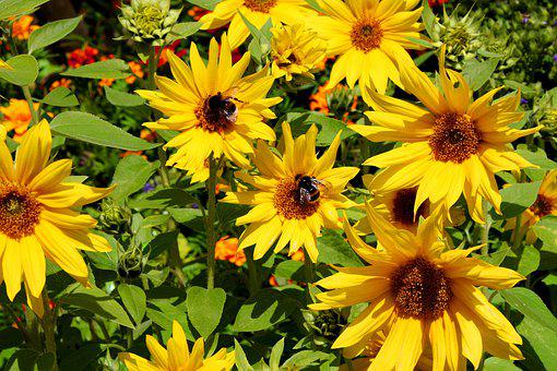 Sunflower, Bumblebees, Summer, Garden, Nature, Yellow