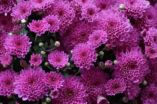 The Chrysanthemum, Flower, Purple, Pink, Autumnal