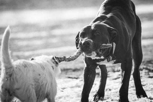 Dog, Play, Tug, Floor, Black And White