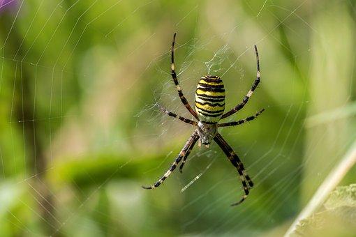 Spider, Wasp Spider, Zebraspinne, Cobweb, Macro
