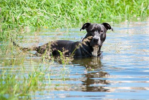 Dog, Water, Amstaff, American Staffordshire Terrier