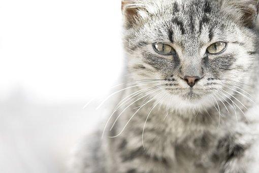 Domestic, Animal, Pet, Portrait, Mammal, Cute, Fur, Cat