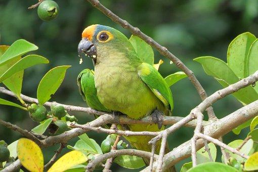 Maritaca, Bird, Cocota, Parrot, Birds