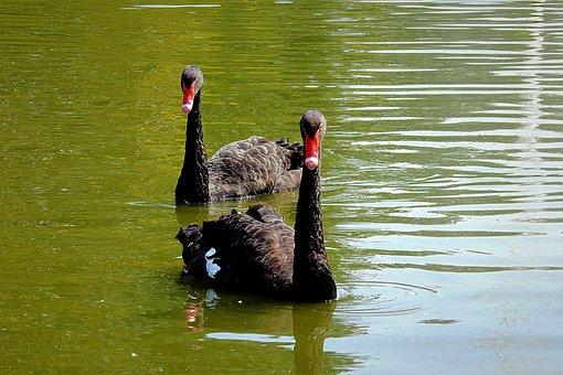 Black Swan, Birds, Lake, Para, Beautiful