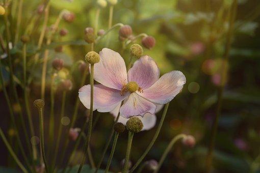 Flower, Blossom, Bloom, Anemone, Fall Anemone, Autumn