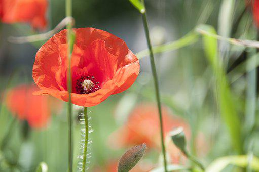 Poppy, Red, Nature, Blossom, Bloom, Plant, Summer