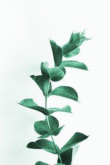 Eucalyptus, Leaves, Leaf, Branch, Australian, Branches