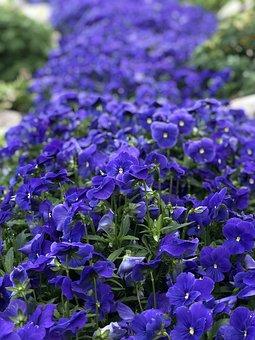 City Of Banf, Alberta, Canada, Cassedy Garden, Flowers