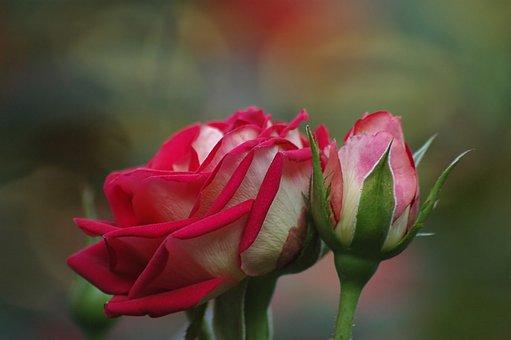 Bud, Rose, Couple, Flower, Bloom, Garden, Gentle, Pink