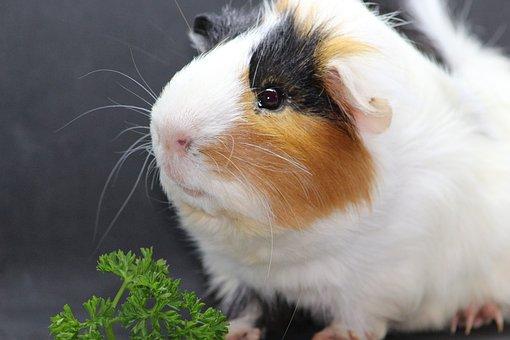 Sea pig, Sweet, Animal, Cute, Guinea Pig, Rodent