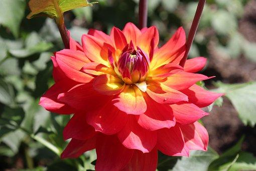 Dahlias, Flowers, Plants, Garden, Gardening