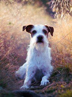 Dog, Kromfohrländer, Companion Dog, Dog Breed, Pet