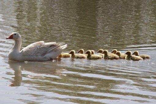 Goose, Babies, Bird, Chicks, Family, Cute, Ducklings