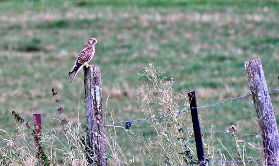 Valk, Bird Of Prey, Feathers, Beak, Sitting