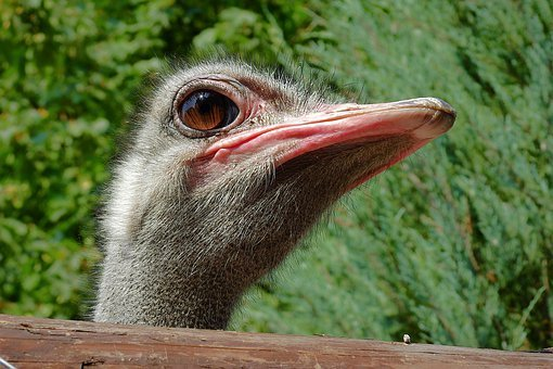 Ostrich, The Head Of The, Portrait, Flightless, Bird