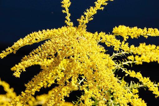 Golden Rod, Gold Diamond, Herbaceous Plant, Flora