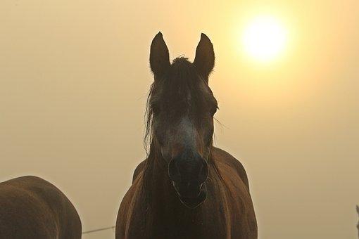 Fog, Horse, Sun, Morgenstimmung, Thoroughbred Arabian