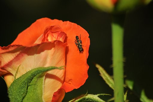 Rose, Insect, Bloom, Garden, Summer, Bee, Leaves