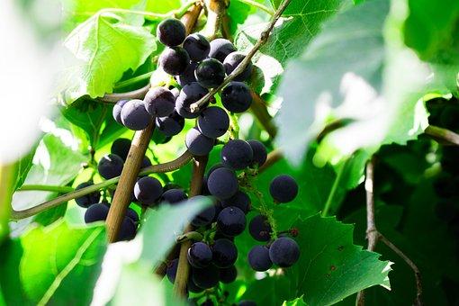 Grapes, Greens, Foliage, Growing, Loza, Leaves, Nature