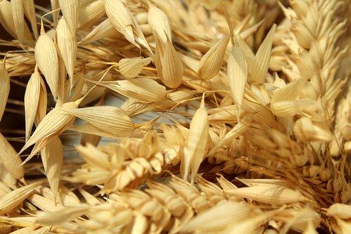 Corn, Harvest, Ears, Oats, Barley, Agriculture