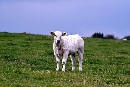 Calf, Cow, Herkauwer, Meadow, Nature, Grassland, Mammal