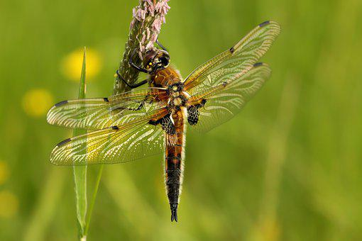 Dragonfly, Four Patch, Insect, Nature, Wing, Close Up