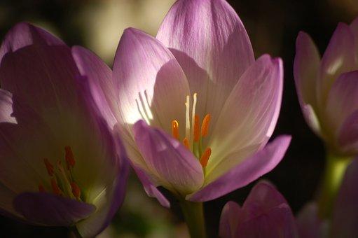 Colchicum, Flowers, Autumn, Light, Rays, Sunny