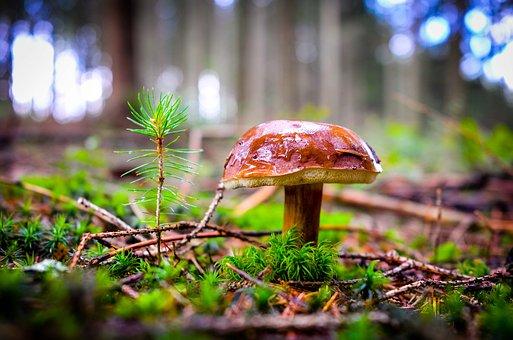 Cep, Mushroom, Red, Forest, Rac, Nature, Autumn