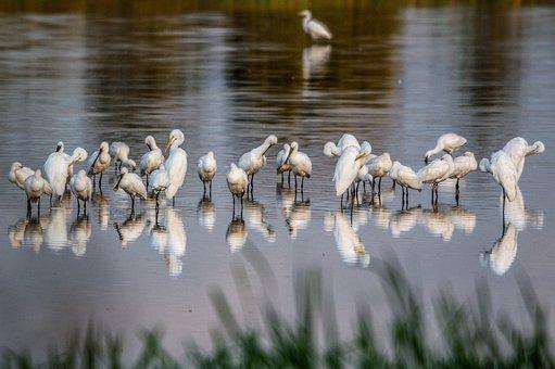 Birds, Water, Animal Animals, White, Nature, Lake