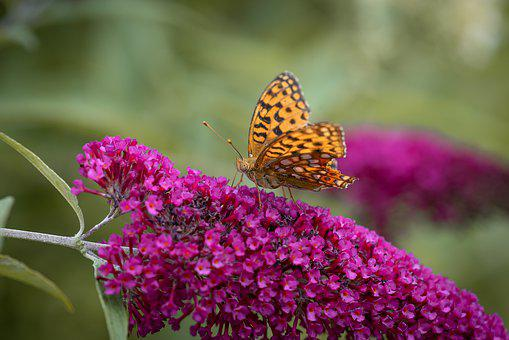 Butterfly, Garden, Nature, Lilac, Summer Lilac, Orange