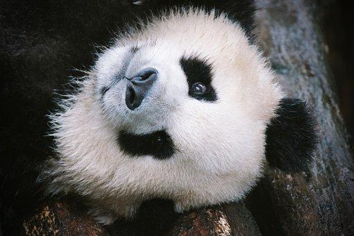 Panda Bear, Panda, China, Animals, Chinese, Cub