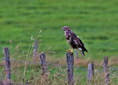 Common Buzzard, Bird Of Prey, Claws, Plumage, Wings