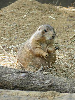Prairie Dog, Rodent, Nature, Zoo, Animal, Mammal, Cute