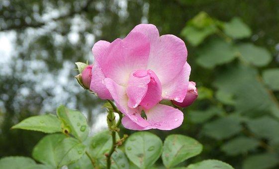 Rose, Blossom, Bloom, Pink, Garden, Nature, Wild Rose