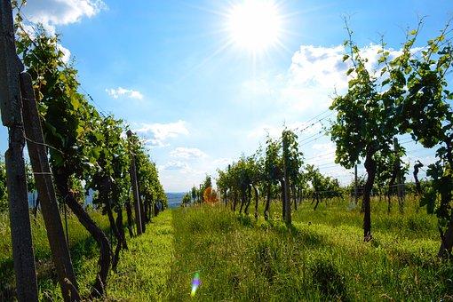 Vineyard, Wine, Sky, Grapevine, The Grapes, Nature