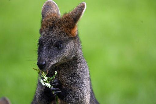 Wallibi, Zoo, Kangaroo, Animal Park