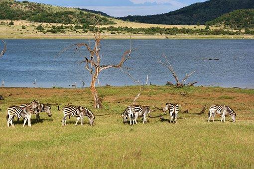 Zebra, Scenic, Dam, Wildlife, Nature, Landscape, Animal
