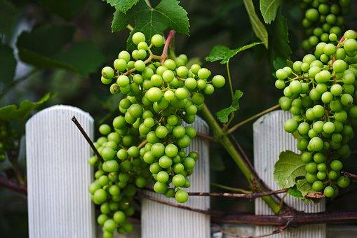 Vineyard, Bunch, Grapes, Wine, Fruit, Winery, Harvest