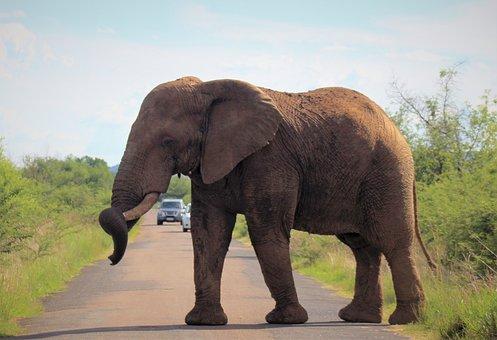 Elephant, Tusk, Big, Majestic, Cross, Road, Africa