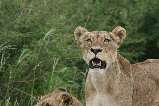 Lion, Stare, Eyes, Teeth, Royal, South, Africa