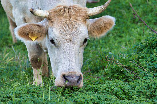 Cow, Pasture, Agriculture, Beef, Cows, Nature, Animal