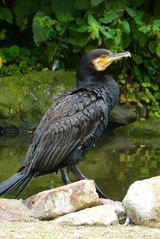 Great Cormorant, Bird, Animal Garden, Blijdorp