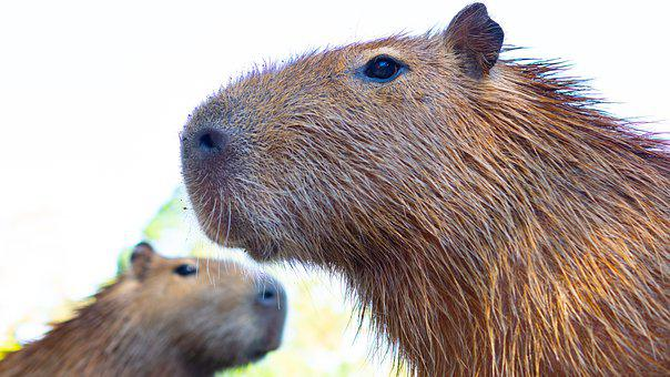 Capybara, Rodent, Nager, Mammal, Animal World