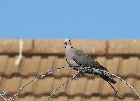 Pigeon, Dove, Bird, Watching, Roof, Colorful, Nature